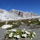 Kopie von: D-5022-fiori-alpini-pale-di-san-martino.jpg