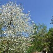 D-0760-cigliegio-in-fioritura.jpg
