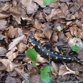 D-0781-salamandra.jpg