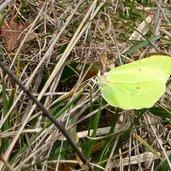 D-7407-farfalla-cedronella.jpg