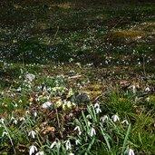 D-7522-bucaneve-galanthus-nivalis-schneegloeckchen.jpg