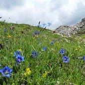 D-8716-flora-alpina-sul-castellaz-genziane.jpg
