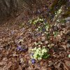 Liverworts and primroses line the path and colour the forest floor. Foto: AT, © Peer