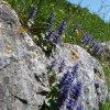 In primavera i fiori crescono rigogliosi anche sulle rocce. Foto: AT, © Peer