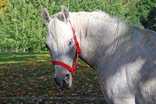 Cavallo bianco Schimmel