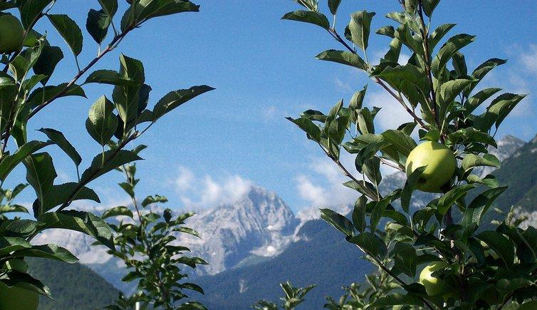 Le mele del trentino trentino provincia di trento - Mele fuji coltivazione ...